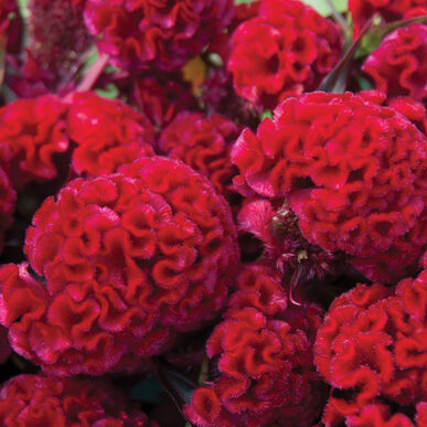 Red Flame Celosia