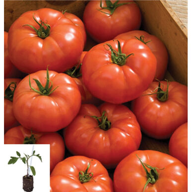 Rebelski/Maxifort Grafted Grafted Tomato Plants