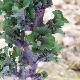 Autumn Star Kalettes®