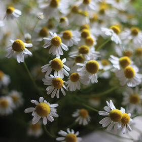 Common Chamomile Chamomile