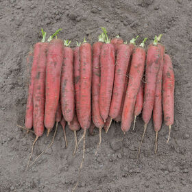 Redsun Colored Carrots