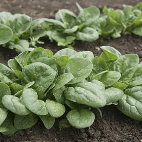 Seaside Smooth-Leaf Spinach