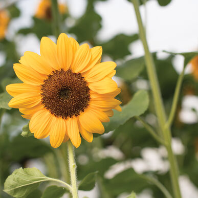 Vincent®s Choice Tall Sunflowers