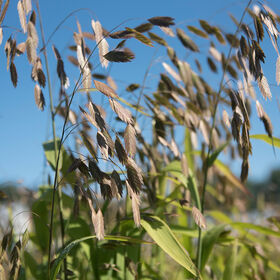 Northern Sea Oats Grasses, Ornamental