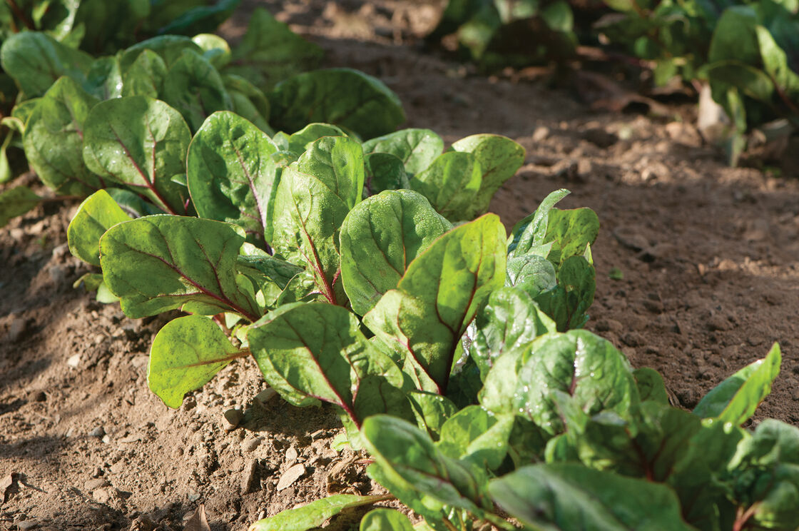Red Kitten F1 Spinach Seed Johnny S Selected Seeds