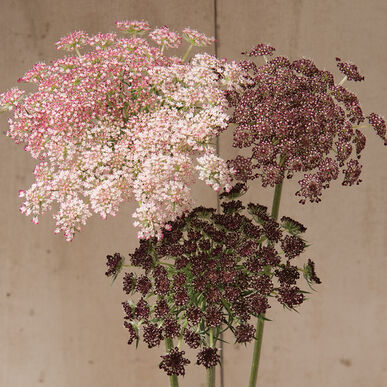 Dara Daucus (Queen Anne's Lace)