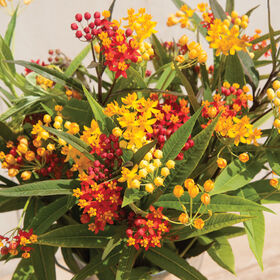 Silky Formula Mix Asclepias (Butterfly Weed)