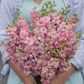 QIS™ Light Pink Larkspur