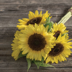Sunrich Limoncello Summer Tall Sunflowers