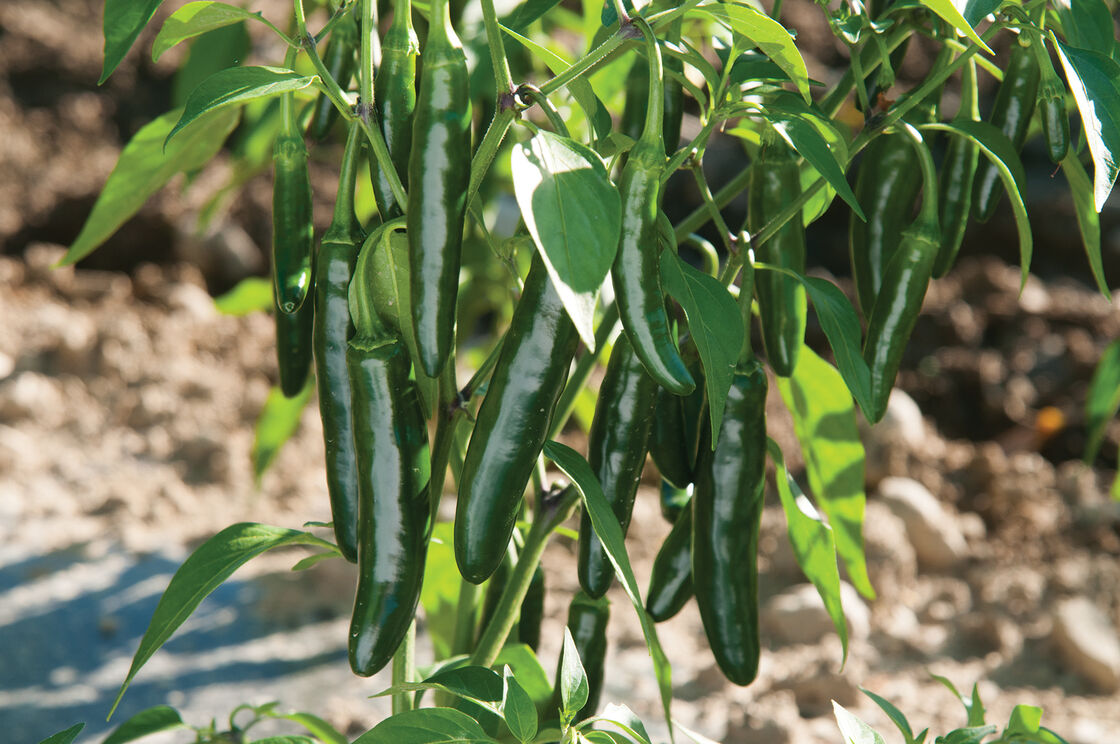 "Picture of Live Pepper Serrano JB Vegetable Plant Fit 4"" Pot"