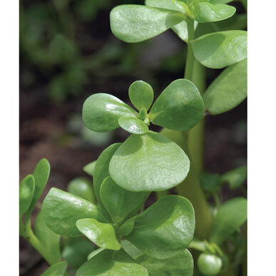 Goldberg Golden Purslane Specialty Greens