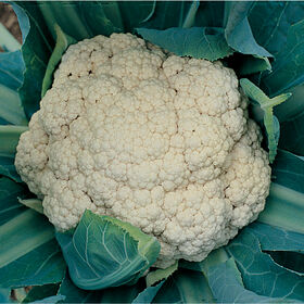 Snow Crown Standard Cauliflower