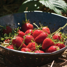 Elan Strawberry Seeds