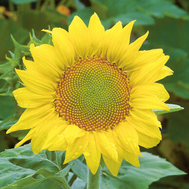 Zebulon Tall Sunflowers