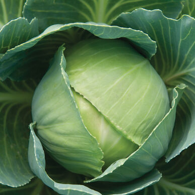 Gonzales Fresh Market Cabbage