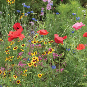 Northern Lights Mix Wildflower Mixes