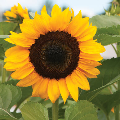 ProCut® Orange Tall Sunflowers