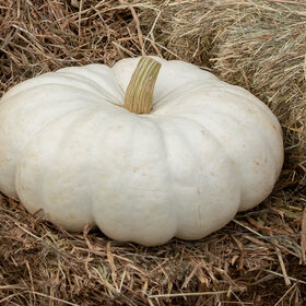 Flat Stacker Specialty Pumpkins