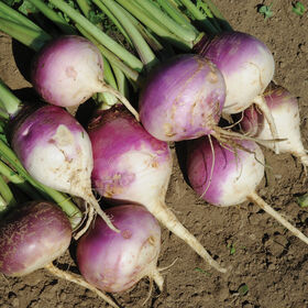 Purple Top Forage Turnips Turnips (Forage)