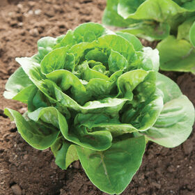 Dragoon Romaine Lettuce (Cos)