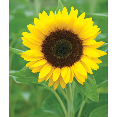 Zohar Tall Sunflowers