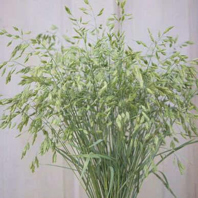 Bromus Grass Grasses, Ornamental