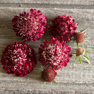 Fire King Scabiosa (Pincushion Flower)