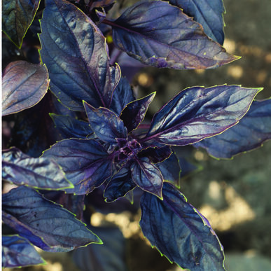Red Rubin Purple Basil