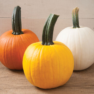 Sunlight PMR Specialty Pumpkins