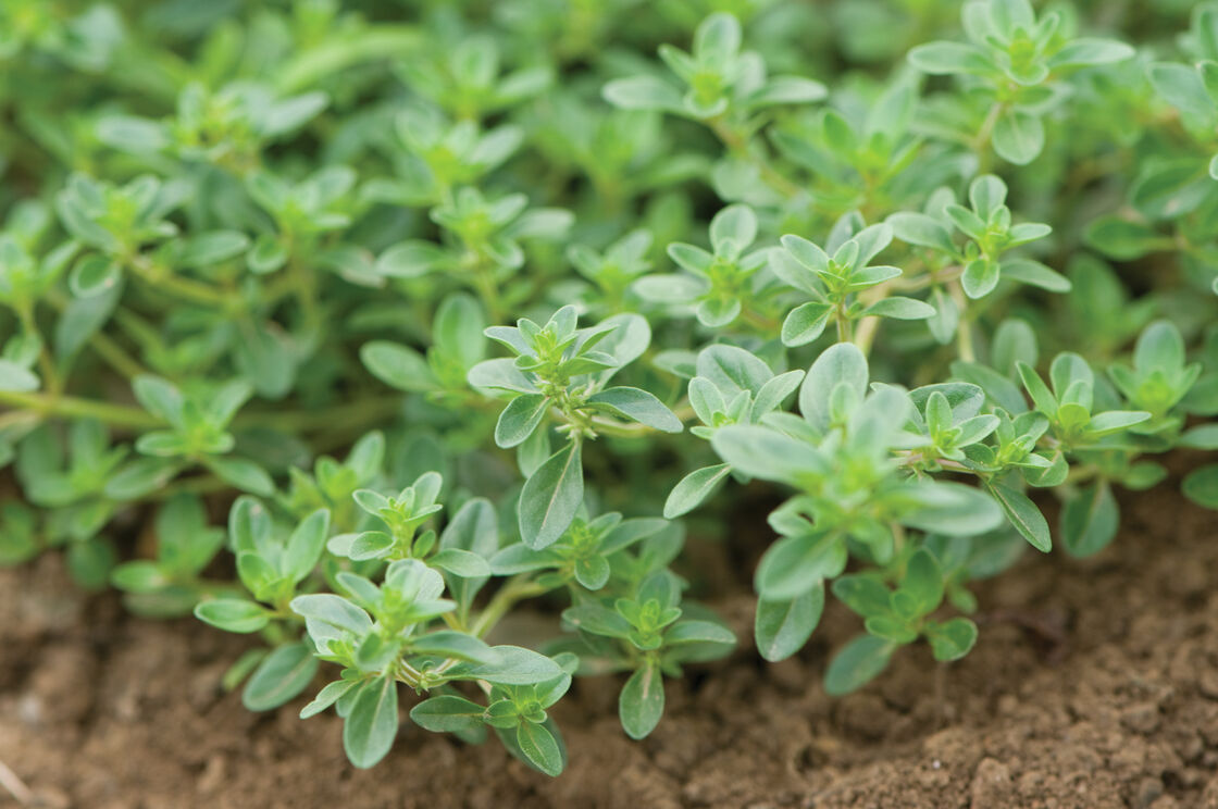 Creeping Thyme Seeds 100 Guaranteed, Creeping Jenny Ground Cover Seeds