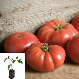 Grafted Heirloom Tomato Collection Heirloom Tomatoes