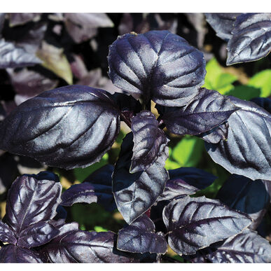 Amethyst Improved Purple Basil