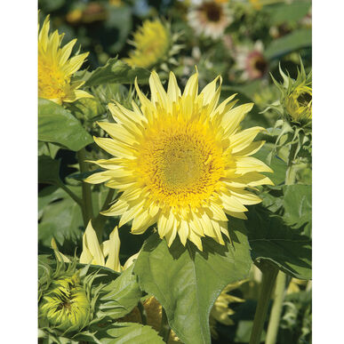 Starburst™ Lemon Aura Tall Sunflowers