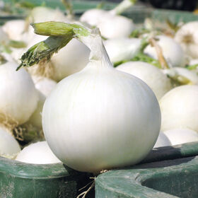 White Wing Full-Size Onions