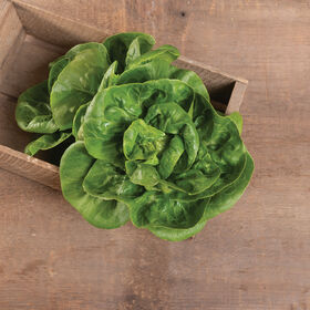 Little Gem Bibb Lettuce