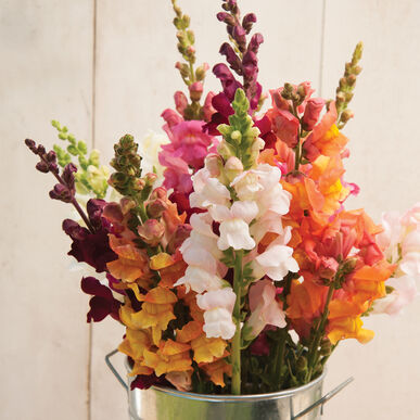 Costa Mix Snapdragon