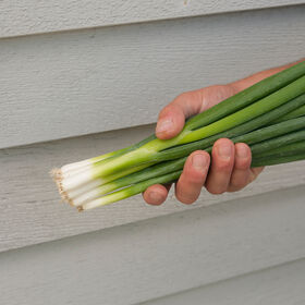 Nabechan Bunching Onions