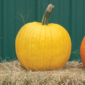 Mellow Yellow Jack-o-Lanterns