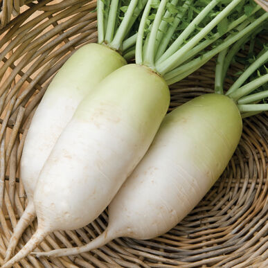Alpine Daikon Radishes