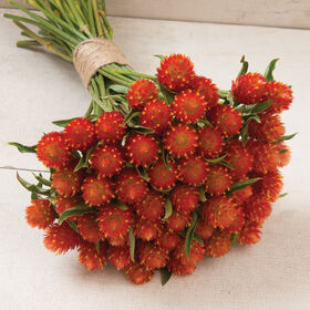 QIS™ Orange Gomphrena (Globe Amaranth)
