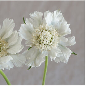 Fama White Scabiosa (Pincushion Flower)