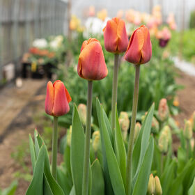 Brown Sugar Tulips