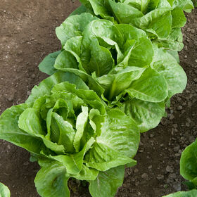 Coastal Star Romaine Lettuce (Cos)
