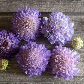 Oxford Blue Scabiosa (Pincushion Flower)