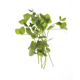Dwarf Grey Sugar Pea Shoots