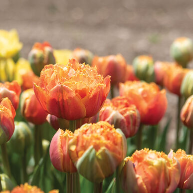 Sensual Touch Tulips