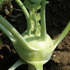 Winner Fresh Eating Kohlrabi