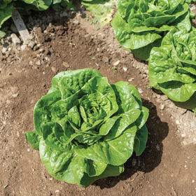 Winter Density Romaine Lettuce (Cos)