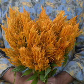 Sunday Gold Celosia