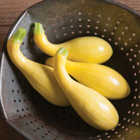 Gold Star Summer Squash